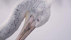 Nära sikt av den Dalmatian pelikan lager videofilmer