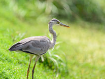 Nära sikt av den Grey Heron fågeln Fotografering för Bildbyråer