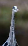 Nära sikt av den Grey Heron fågeln Arkivfoton