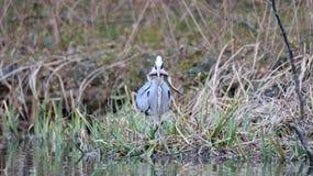 Nära sikt av den Grey Heron fågeln Arkivfoto
