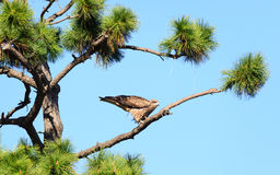 Nära sikt av den japanska fågeln för svart drake royaltyfri bild