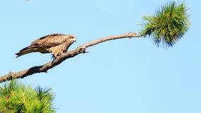 Nära sikt av den japanska fågeln för svart drake Royaltyfria Foton
