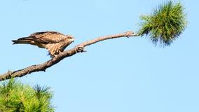 Nära sikt av den japanska fågeln för svart drake royaltyfria bilder