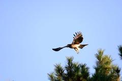 Nära sikt av den japanska fågeln för svart drake arkivfoton