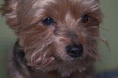 nära sikt av den lilla terrierhunden som ser på hans ägare Royaltyfria Bilder