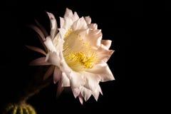 Nära sikt av en blomma av den Echinopsis eyriesiien Arkivbild