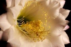 Nära sikt av en blomma av den Echinopsis eyriesiien Royaltyfri Foto