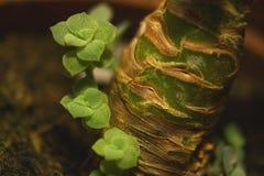 Nära sikt av en liten ny grön suckulent i lite träkruka arkivfoton