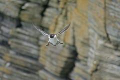 Nära sikt av en Razorbill i flykten vid klippor Royaltyfri Foto