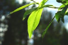 Nära sikt av ett nytt grönt blad på sommar royaltyfri bild
