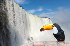 Nära sikt av tukantocoen på de Cataratas vattenfallen Royaltyfria Bilder