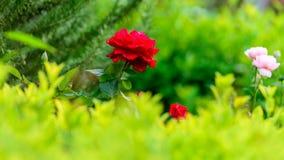 Nära sikt av Victor Hugo den röda rosen royaltyfri bild