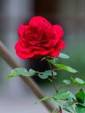 Nära sikt av Victor Hugo den röda rosen royaltyfria foton