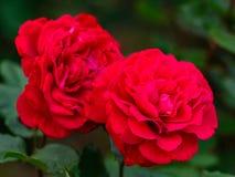 Nära sikt av Victor Hugo den röda rosen royaltyfri foto