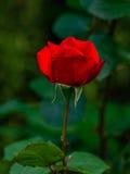 Nära sikt av Victor Hugo den röda rosen royaltyfri fotografi