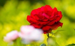 Nära sikt av Victor Hugo den röda rosen Arkivfoto