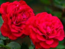Nära sikt av Victor Hugo den röda rosen arkivbilder