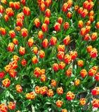 Nära sikt från överkanten av orange tulpan i sommar Arkivbild