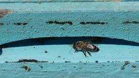 Nära sikt med familjen av bin som arbetar som är intensiv i en bibikupa arkivfilmer