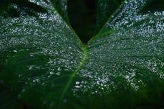 Nära sikt med grunt djup av fältet av daggsmå droppar på Alocasiaväxtbladet royaltyfri fotografi