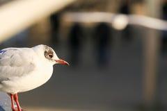 Nära skott för Seagull Arkivfoto