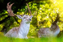 Nära upp av dovhjortar med mäktiga horn på kronhjort arkivfoton