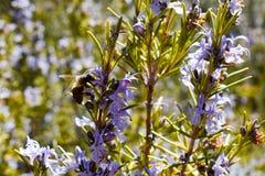 nära upp av ett bi på en purpurfärgad blomma av den gröna rosmarinfilialen som pollinerar växten och tar pollen i en mycket solig royaltyfria bilder