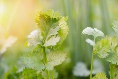Nära upp av korianderbladet som planterar i trädgård för krukakolonigrönsak i morgonen royaltyfri foto