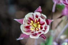 Nära upp bästa sikt av en rosa och vit aquilegiablomma royaltyfria foton