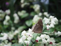 Nära upp brun fjäril på den vita blomman med trädgårdbakgrund royaltyfri bild