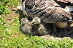 Närbild, ägget och den två unga långhalsgässen i parkera i England i sommaren arkivbild