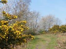 Närbild av ärttörneväxtblommor med en suddig bakgrund, Chorleywood allmänning arkivfoto