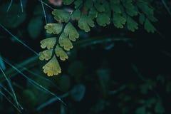 Närbild av adiantumcuneatumsidor arkivbild
