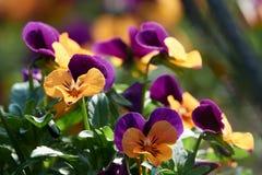 Närbild av altfiolcornutablommor fotografering för bildbyråer