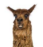 Närbild av att le för Alpaca Royaltyfri Fotografi