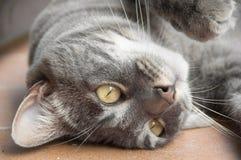 Närbild av att ligga för inhemsk katt som är uppochnervänt Arkivbilder