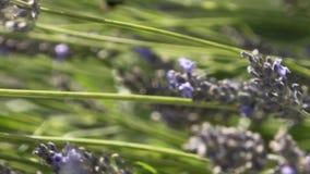 Närbild av att växa för lavendelblommor på äng i varm sommardag actinium Härlig närbildsikt av blommaängen arkivfilmer