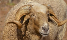 Närbild av australiskt RAM som håller ögonen på dig Arkivfoto