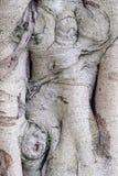 Närbild av banyanträdstammen royaltyfri foto