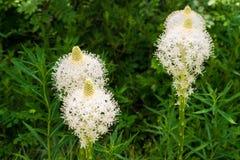 Närbild av beargrass i blom royaltyfri foto