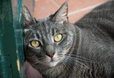 Närbild av benägenheten för inhemsk katt på en grön dörr Arkivbild