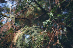 Närbild av blomningfilialer av Thujaoccidentalis arkivbilder