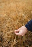 Närbild av bonden som kontrollerar hans skördar Royaltyfri Bild