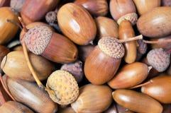 Närbild av bruna ekollonar Royaltyfria Bilder