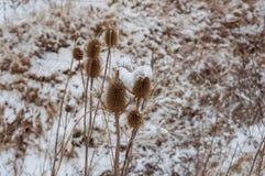 Närbild av Burs i vintern Arkivbild