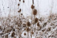 Närbild av Burs i vintern Arkivfoto