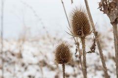 Närbild av Burs i vintern Arkivfoton