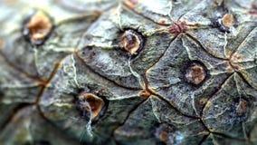 Närbild av cederträkotteskället Det organiska naturliga skället av sörjer kottar med textur av träceller Närbild som skjutas av s stock video