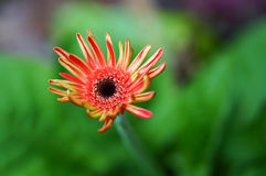 Närbild av chrysanthemumen fotografering för bildbyråer