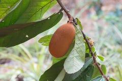Närbild av cupuacufrukt royaltyfri foto